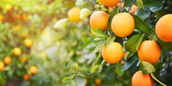 7. Laranja: É uma fruta cítrica e, assim como as outras, possui não só uma quantidade excelente de cálcio, como também de vitamina D.